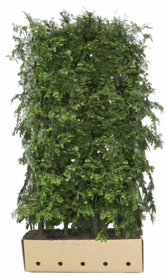 Kant - en - klaar haag Metasequoia glyptostroboides 1m lang en 2 m hoog - 1 stuks
