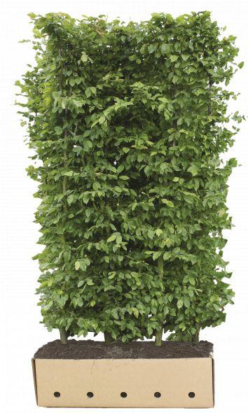 Kant - en - klaar haag Carpinus betulus 1 m lang en 1,5 m hoog - 1 stuks