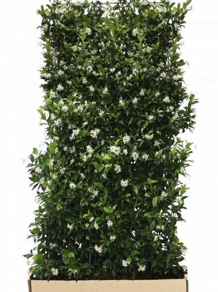 Kant - en - Klaar haag Trachelospermum jasminoides 1,06 m lang en 1,8 m hoog  en 40 cm breed