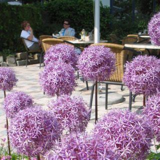 Allium giganteum (Reuzen sierui)