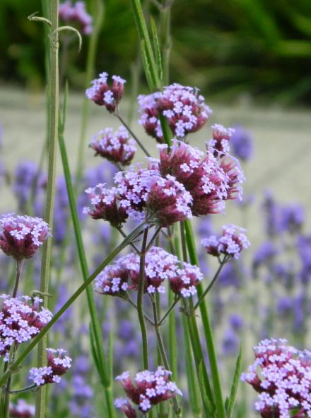 Verbena bonariensis (IJzerhard)