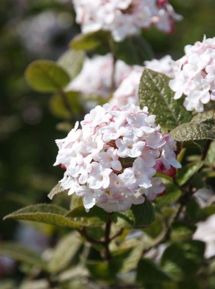 Viburnum carlesii 'Aurora' (Sneeuwbal)