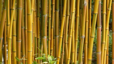 Bamboebegrenzer