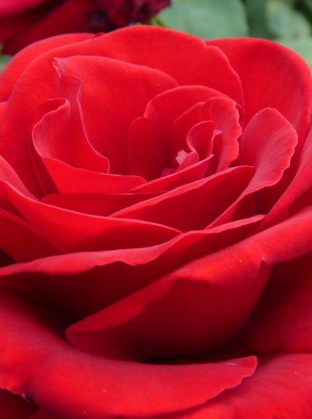 Rosa Erotika KW (Rode grootbloemige roos)