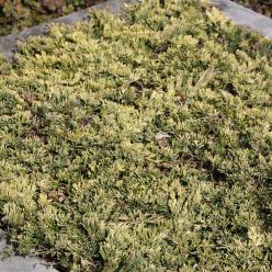 Juniperus horizontalis 'Golden Carpet' - Jeneverbes, kruipende jeneverbes