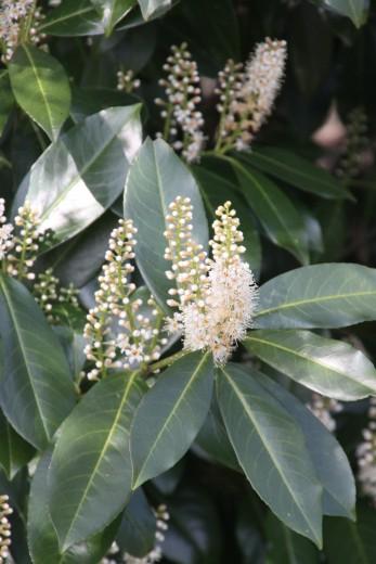 Prunus laurocerasus 'Caucasica' (Laurierkers)