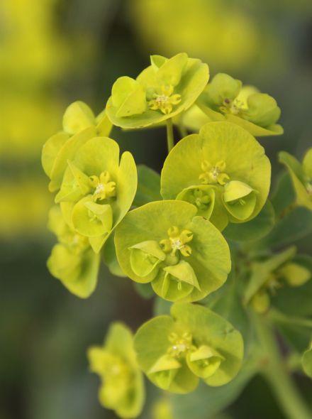 Euphorbia amygdaloides var. 'Robbiae' (Wolfsmelk)