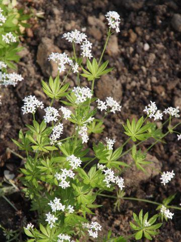 Asperula odorata, syn. Galium odoratum - Lievevrouwebedstro