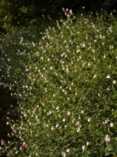 Salvia Microphylla Hot Lips Salie De Tuinen Van Appeltern