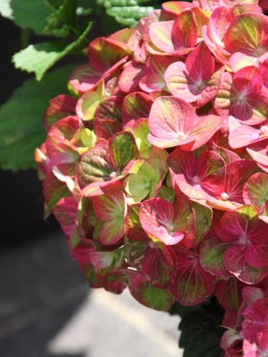 Hydrangea macrophylla 'Magical Greenfire' ('Qufu') - Hortensia, boerenhortensia