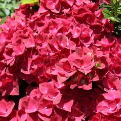 Hydrangea macrophylla 'Magical Sapphire' ('Kolmasa') - Hortensia, boerenhortensia