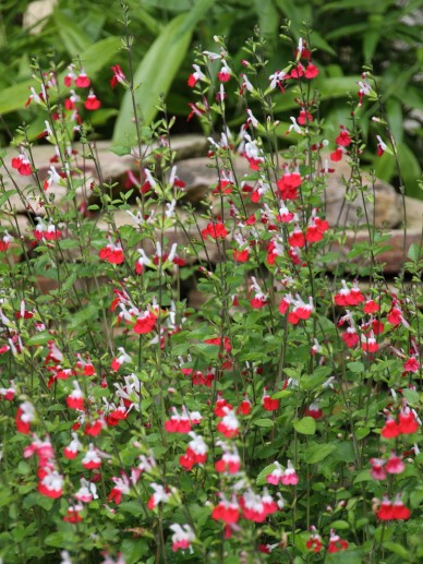 Salvia microphylla 'Hot Lips' - Salie