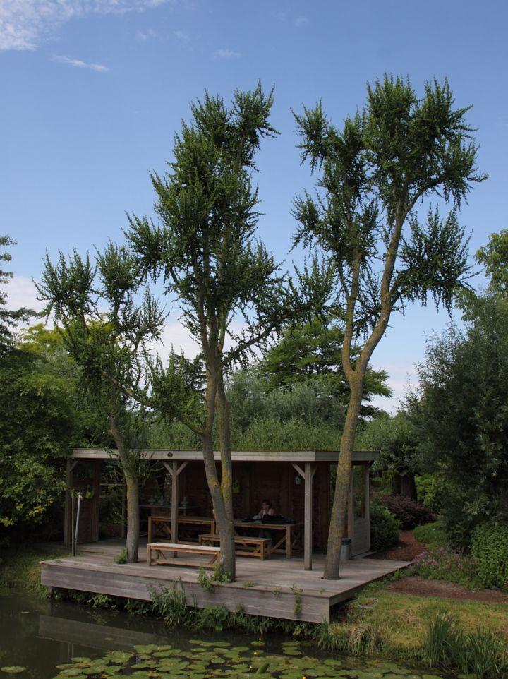 Salix babylonica 'Crispa' - Kronkelwilg
