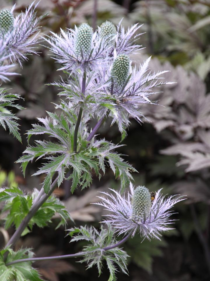 Eryngium alpinum - Alpenkruisdistel