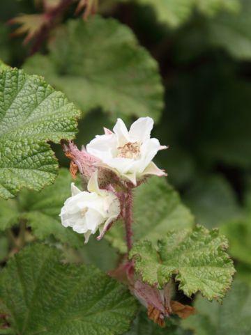 Rubus 'Betty Ashburner' - Braam, sierbraam