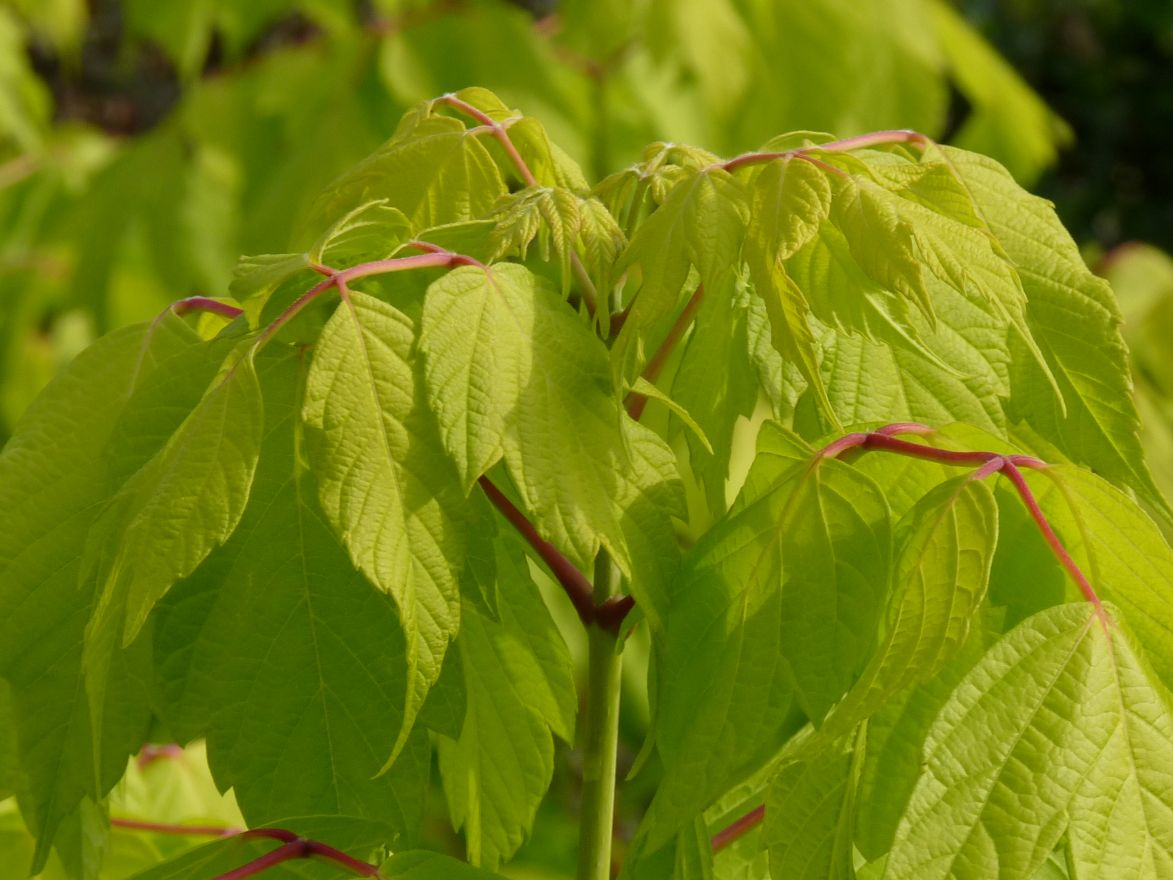 Acer negundo 'Kelly's Gold' (Vederesdoorn, Californische esdoorn)