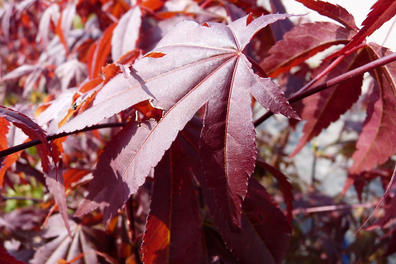 Acer palmatum 'Atropurpureum' (Japanse esdoorn)