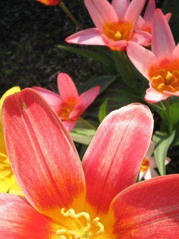 Tulipa humilis - Tulp