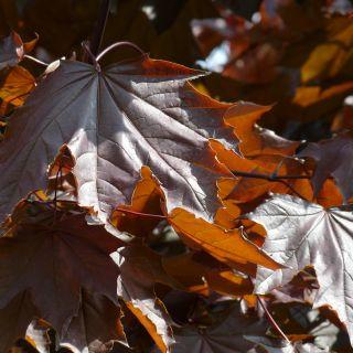 Acer platanoides 'Royal Red' (Noorse esdoorn)