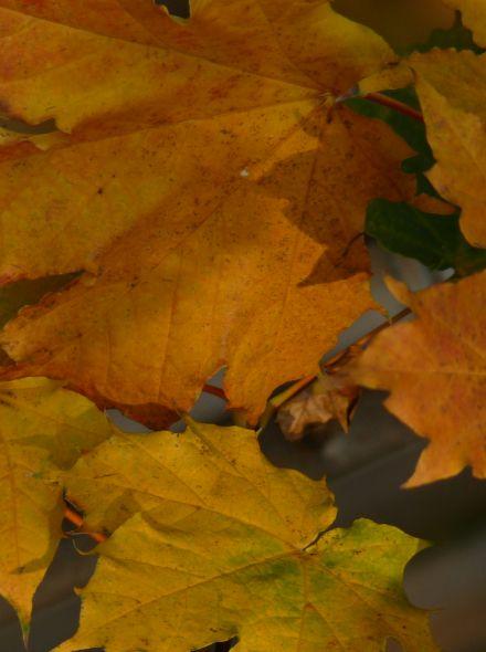 Acer platanoides 'Deborah' (Noorse esdoorn)