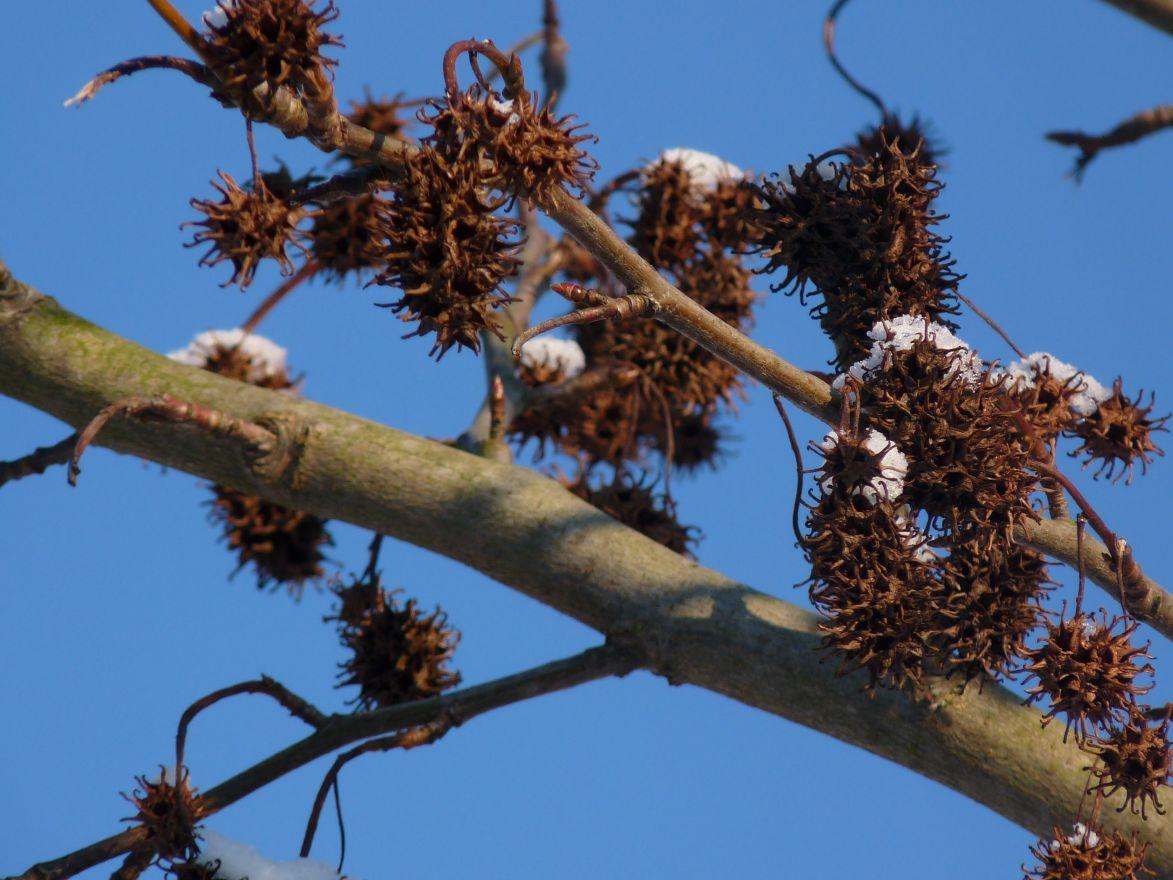 Amberboom dakvorm (Liquidambar styraciflua dakboom)