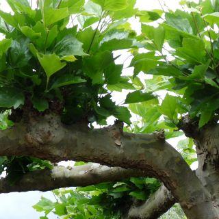 Platanus acerifolia dakvorm - 10-12 wrtg