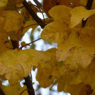 Acer campestre 'Nanum' (Bolesdoorn)