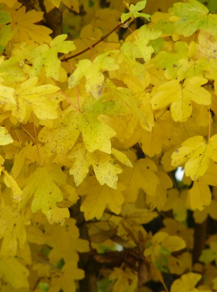 Spaanse Aak dakvorm (Acer campestre dakboom)