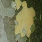 Platanus acerifolia dakvorm - 12-14 wrtg