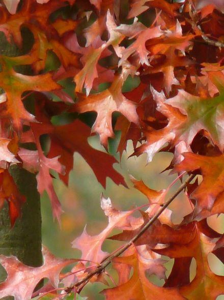Quercus palustris dakvorm - 12-14 wrtg