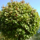 Acer platanoides 'Globosum' bolvorm - 10-12 wrtg