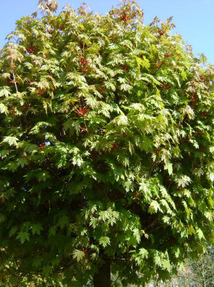 Acer platanoides 'Globosum' (Bolesdoorn)
