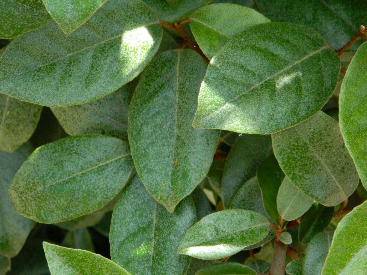 Elaeagnus ebbingei (Olijfwilg op stam)
