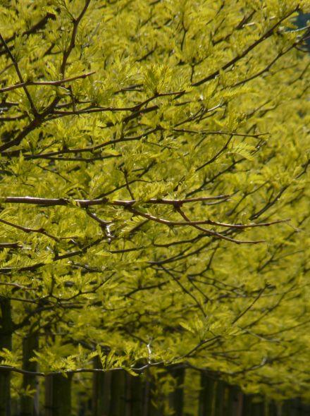 Robinia pseudoacacia 'Umbraculifera' (Halfstam Bolacacia)