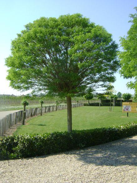 Robinia pseudoacacia 'Umbraculifera' (Hoogstam Bolacacia)