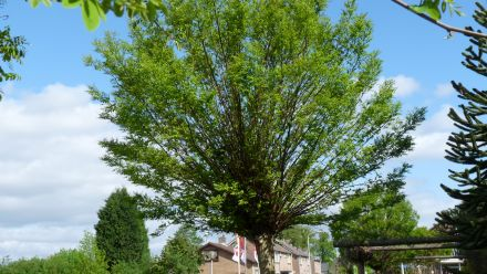 Bolvormige bomen