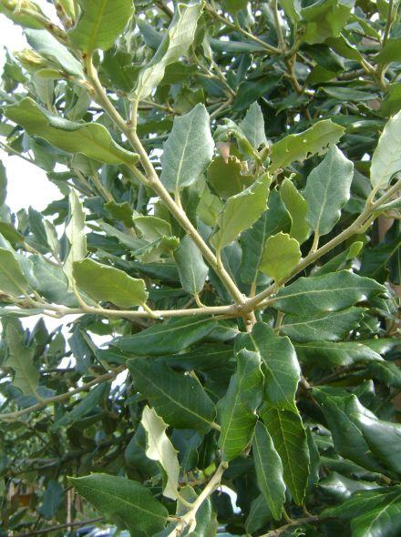 Groenblijvende Leiboom Eik - Quercus ilex (Steeneik)