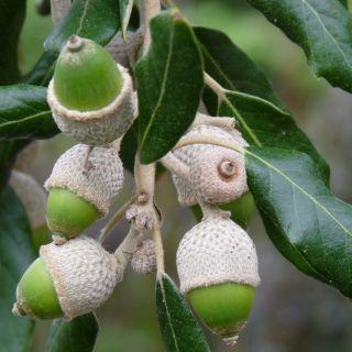 Quercus ilex (Groenblijvende Steeneik meeneemhaag)
