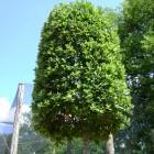 Quercus ilex losse vorm 10-12 container