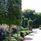 Quercus ilex losse vorm 8-10 container