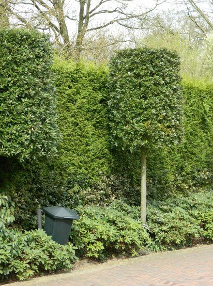 Quercus ilex (losse vorm)