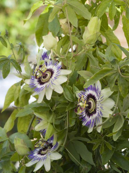Passiflora caerulea (Passiebloem)
