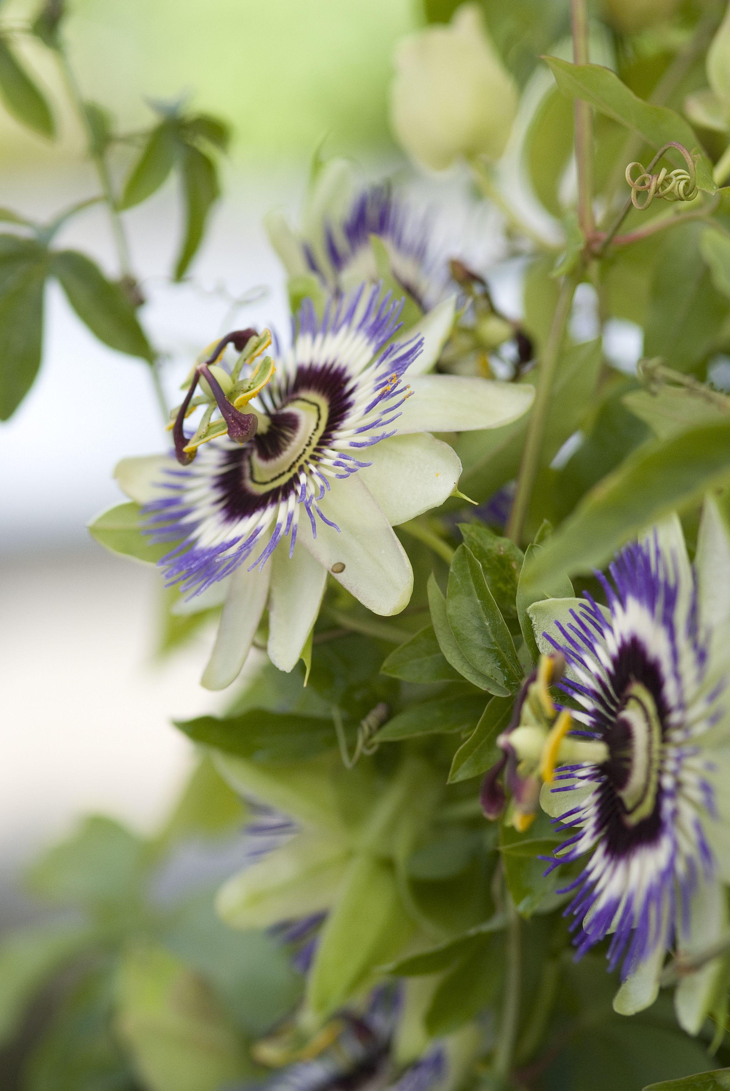 Passiflora Caerulea Blauwe Passiebloem Blaue Passionsblume Blue