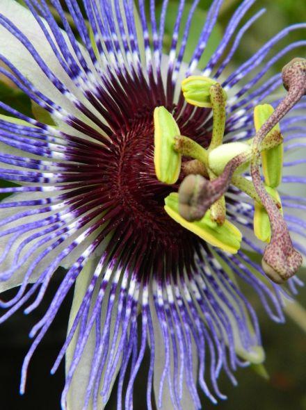 Passiflora Purple Rain (Passiebloem)