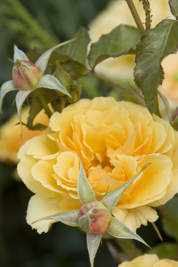 Rosa 'Amber Queen' (oranje trosroos)