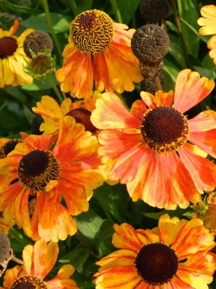 Helenium 'Sahin's Early Flowerer' (Zonnekruid)