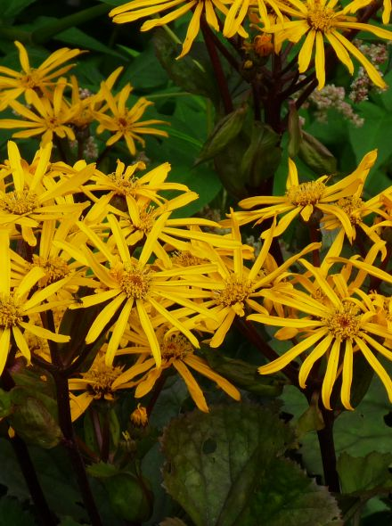 Ligularia dentata 'Othello' (Kruiskruid)