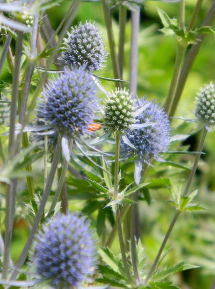 Eryngium planum 'Blauer Zwerg' (Blauwe distel, kruisdistel)