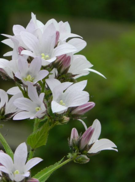 Campanula lactiflora 'Loddon Anna' (Klokjesbloem, Klokje)