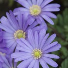 Anemone blanda 'Blue Shades' (Blauwe anemoontjes, Oosterse anemoon)